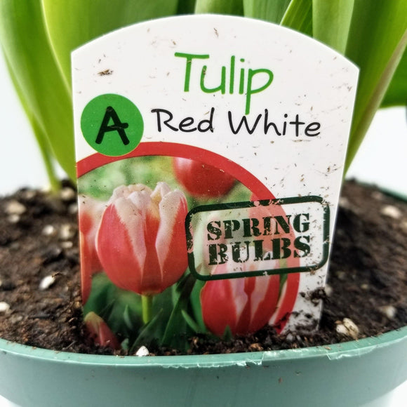 Spring Bulbs - available from RiceRoadGreenhouses in Ontario, Canada