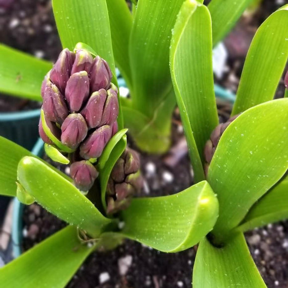 Potted Spring Bulbs - available from RiceRoadGreenhouses in Ontario, Canada
