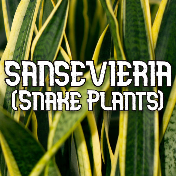 Houseplants - Sansevieria (Snake Plants) - available from RiceRoadGreenhouses in Ontario, Canada