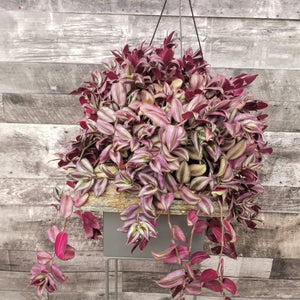 "TRADESCANTIA Wandering Jew - Hanging Basket - 10"" - available from RiceRoadGreenhouses in Ontario, Canada"