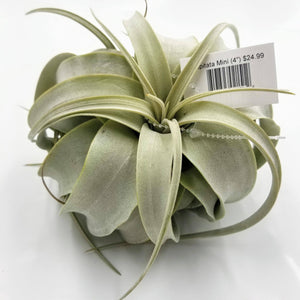 "CAPITATA Mini - 4"" - available from RiceRoadGreenhouses in Ontario, Canada"