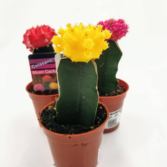 Grafted Moon Cactus - 3