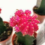 "Grafted Moon Cactus - 3"" - available from RiceRoadGreenhouses in Ontario, Canada"