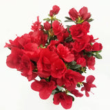 "Azalea Red - 4.5"" - available from RiceRoadGreenhouses in Ontario, Canada"