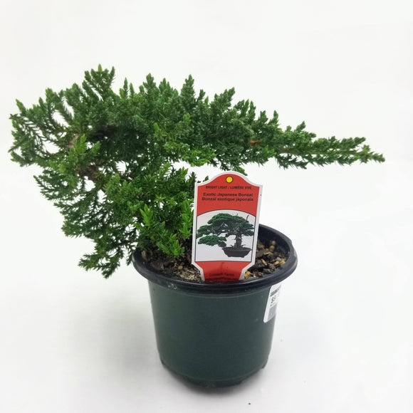 Juniper Bonsai - 4