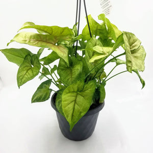 NEPHTHYTIS White Butterfly - Hanging Basket - 6""
