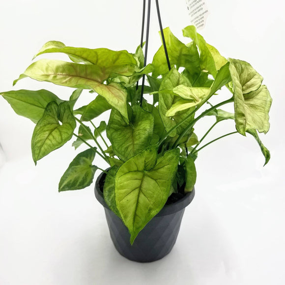 NEPHTHYTIS White Butterfly - Hanging Basket - 6