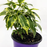 "FICUS Neon - 6"" - available from RiceRoadGreenhouses in Ontario, Canada"
