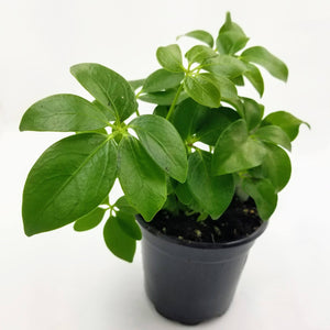 "SCHEFFLERA Hawaiian - 4"" - available from RiceRoadGreenhouses in Ontario, Canada"