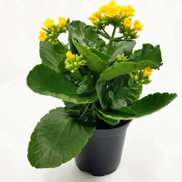 KALANCHOE Yellow - 4