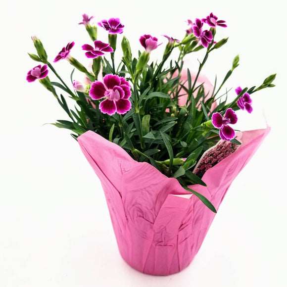 DIANTHUS Pink Kisses - 4