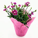 "DIANTHUS Pink Kisses - 4"" - available from RiceRoadGreenhouses in Ontario, Canada"