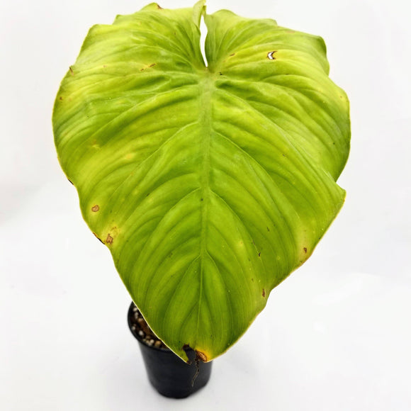 PHILODENDRON Mamei - available from RiceRoadGreenhouses in Ontario, Canada