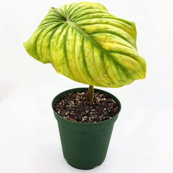 PHILODENDRON Mamei Silver - available from RiceRoadGreenhouses in Ontario, Canada