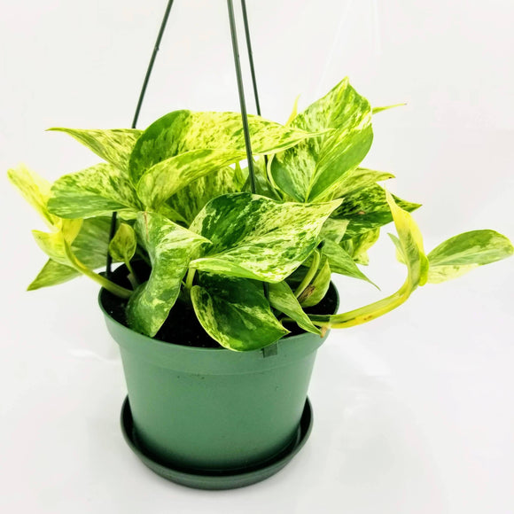 POTHOS Marble Queen - Hanging Basket - 6