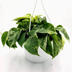 "POTHOS Marble Queen - Hanging Basket - 8"" - available from RiceRoadGreenhouses in Ontario, Canada"