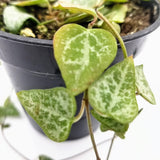 "String of Spades - 3.5"" - available from RiceRoadGreenhouses in Ontario, Canada"