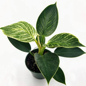 "PHILODENDRON Birkin - 4 "" - available from RiceRoadGreenhouses in Ontario, Canada"