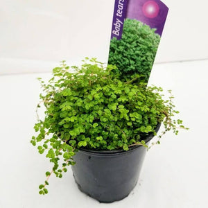 "Baby Tears Plant - 3.5"" - available from RiceRoadGreenhouses in Ontario, Canada"