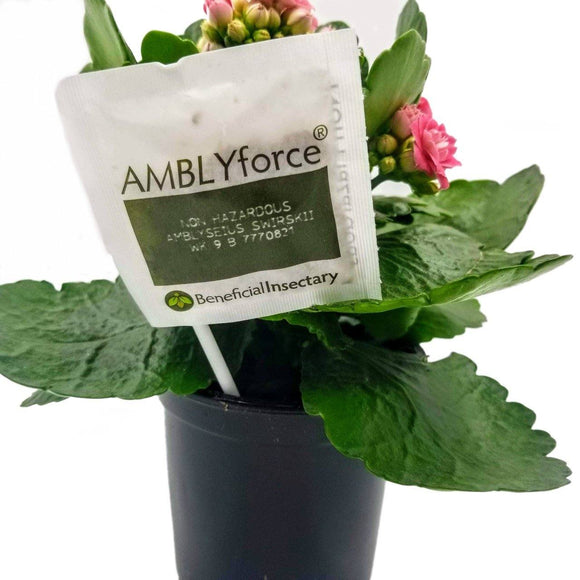 Beneficial Insect Packet - AMBLYSEIUS Swirskii