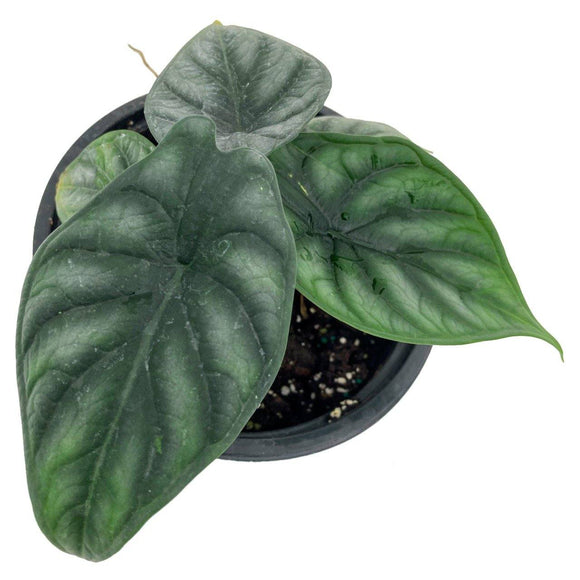 ALOCASIA Green Dragon - 6