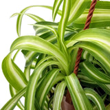 Spider Plant - Curly Bonnie Hanging Basket - 6""