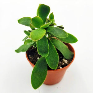 "CRASSULA 'Money Maker'  - 2.5"" - available from RiceRoadGreenhouses in Ontario, Canada"