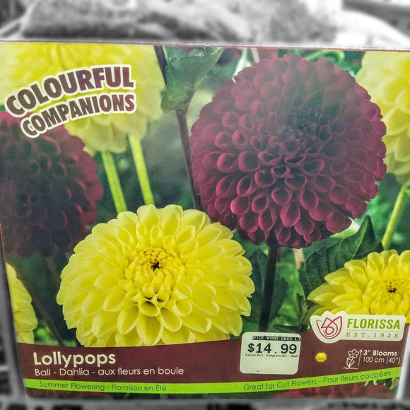 DAHLIA Lollipops (3 Bulbs) - available from RiceRoadGreenhouses in Ontario, Canada