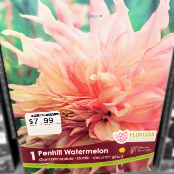 DAHLIA GIANT Penhill Watermelon (1 Bulb) - available from RiceRoadGreenhouses in Ontario, Canada