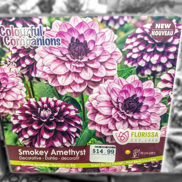 DAHLIA Smokey Amethyst (3 Bulbs) - available from RiceRoadGreenhouses in Ontario, Canada