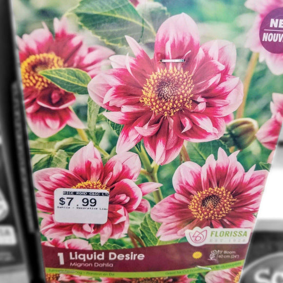 DAHLIA Mignon - Liquid Desire (1 Bulb) - available from RiceRoadGreenhouses in Ontario, Canada