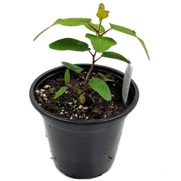 EUCALYPTUS Lemon Bush - 3.5