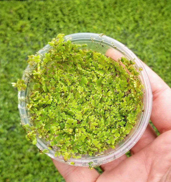 Azolla (1 Scoop)
