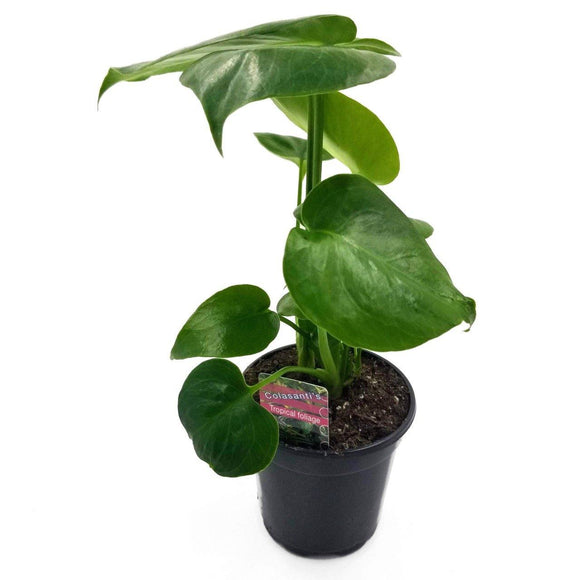 PHILODENDRON Splitleaf - 4