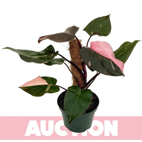 PHILODENDRON Pink Princess 8