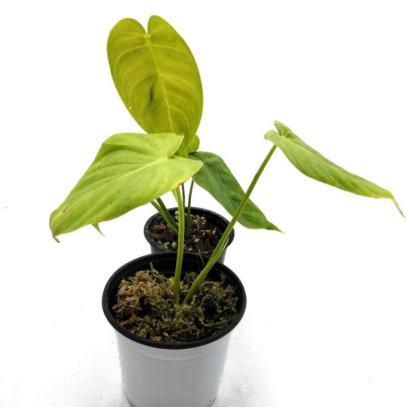 PHILODENDRON Tenue