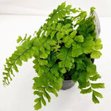 "Maidenhair Rosy Fern - 3.5"" - available from RiceRoadGreenhouses in Ontario, Canada"