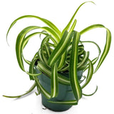Spider Plant - Curly Bonnie - 4