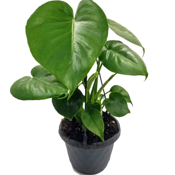 PHILODENDRON Splitleaf Hanging Basket - 6