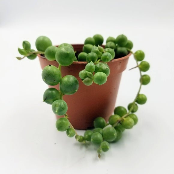 String of Pearls - 2.5