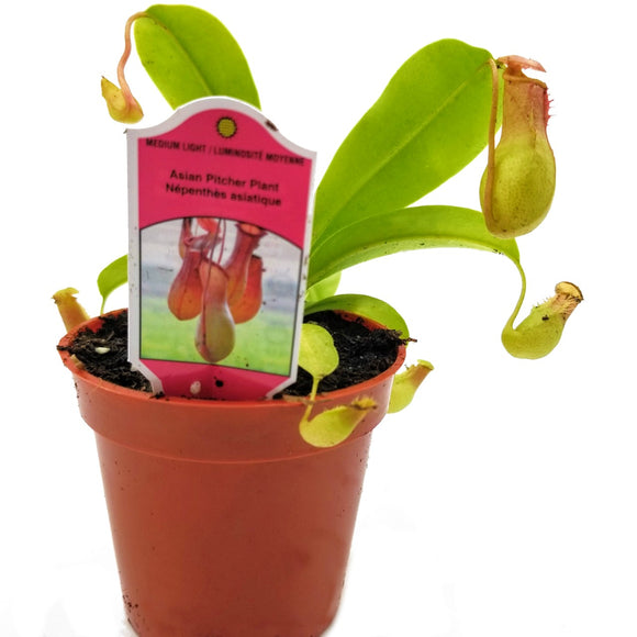 NEPENTHES Pitcher Plant - 3.25