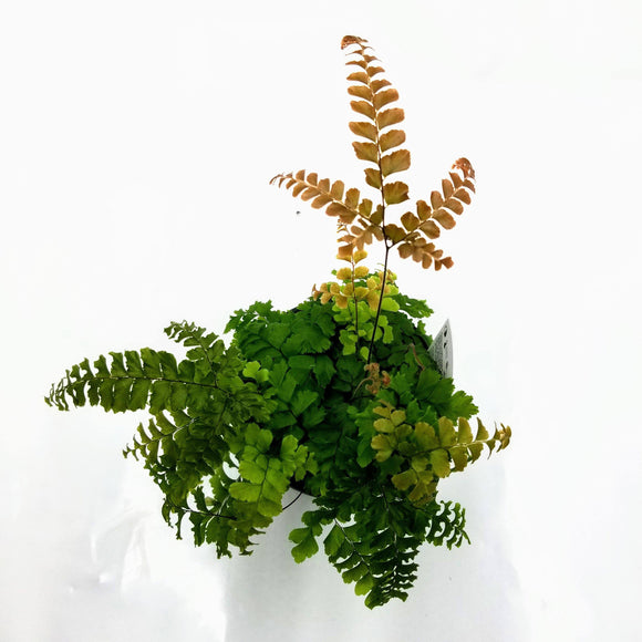 Maidenhair Rosy Fern - 3.5
