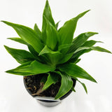 "DRACAENA Janet Craig Compacta - 4"" - available from RiceRoadGreenhouses in Ontario, Canada"