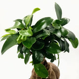 "FICUS Retusa Bonsai - 6"" - available from RiceRoadGreenhouses in Ontario, Canada"