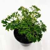 "ARALIA Parsley - 4"" - available from RiceRoadGreenhouses in Ontario, Canada"