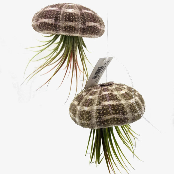 Hanging Air Plant in Sea Urchin Shell - available from RiceRoadGreenhouses in Ontario, Canada