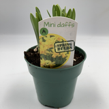 "Mini Daffodils - 4"" - available from RiceRoadGreenhouses in Ontario, Canada"