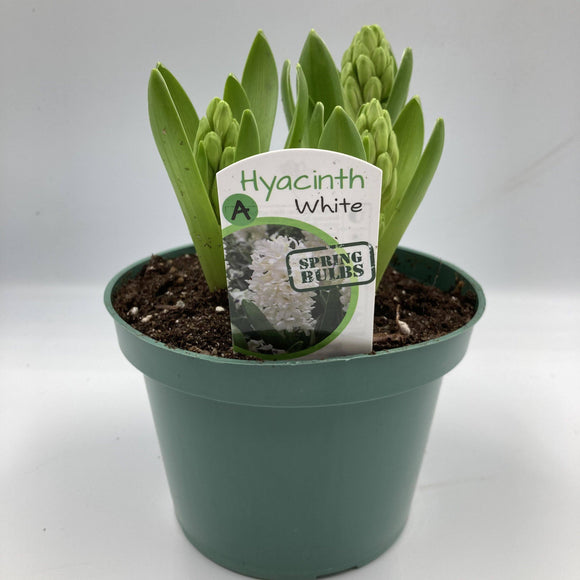 "Hyacinth - White - 4"" - available from RiceRoadGreenhouses in Ontario, Canada"