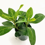 "FICUS Audrey - 6"" (2ppp) - available from RiceRoadGreenhouses in Ontario, Canada"