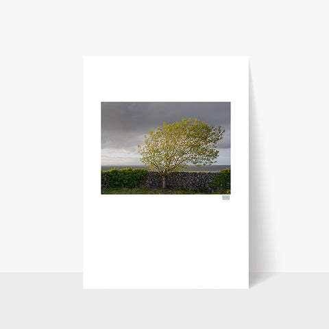 Windswept Blackthorn Tree | Ballyvaughan | Clare